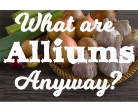 What are Alliums Anyway?